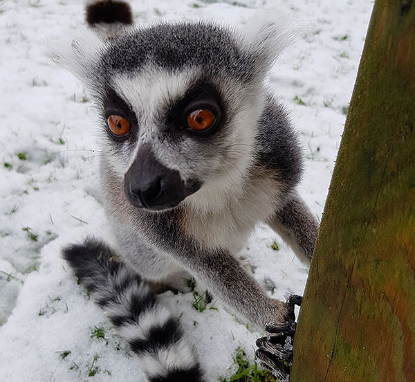 Walk With Our Lemurs - Flamingo Land Resort