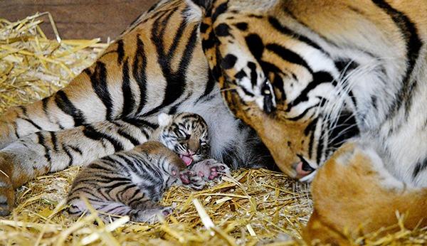 Resultado de imagen de panthera tigris cubs